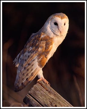 Barn owl - Photo copyright laurie@lauriecampbell.com
