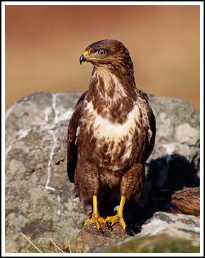 Buzzard - Photo copyright laurie@lauriecampbell.com