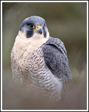 Peregrine - Photo copyright laurie@lauriecampbell.com