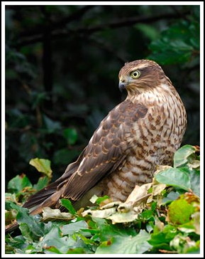 Sparrowhawk female - Photo copyright laurie@lauriecampbell.com