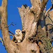 Barn owl - Photo copyright Laurie Campbell