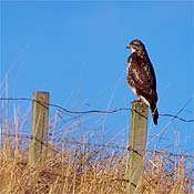 Buzzard - Photo copyright Laurie Cambell