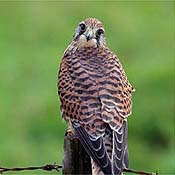 Kestrel - Photo copyright Laurie Campbell